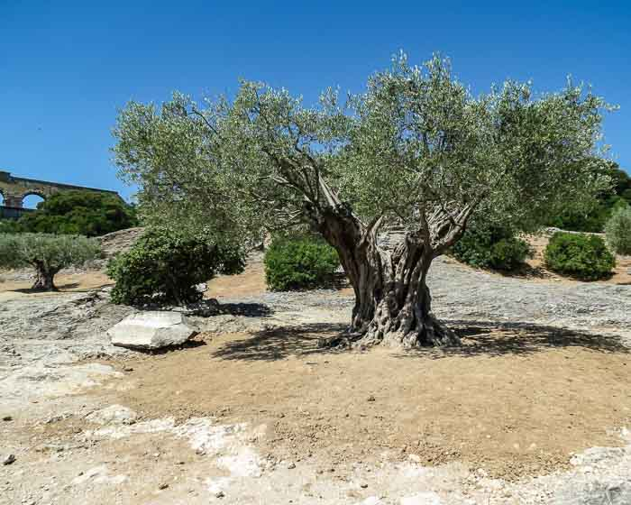 Pont du Gard olive tree
